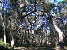 angophora cathedral