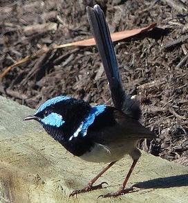 blue-wren-415267_640