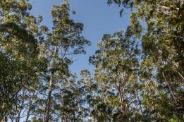 gum-trees-2032531_640