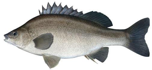 Bidyanus_bidyanus_as_depicted_by_Fishing_and_Aquaculture,_Department_of_Primary_Industries,_New_South_Wales.jpg
